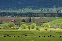 Cattle grazing in Wallowa Valley Oregon