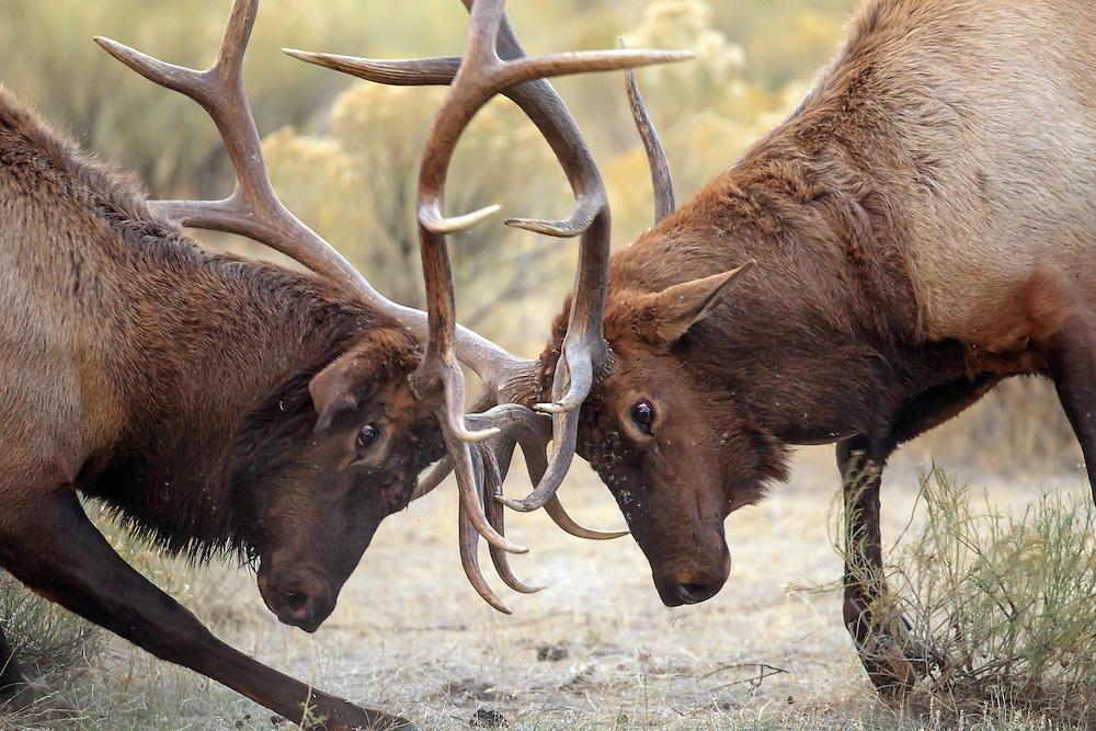 Rocky Mountain Elk in Habitat Two Bull Elk Battle for Dominance and Breeding Rights