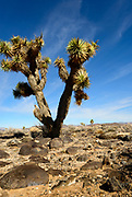 Stands of tree-sized yuccas grow in Lee Flat, a  mountain-rimmed valley in Death Valley, Cakifornia