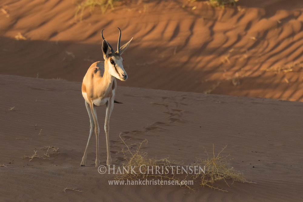 A springbok grazes on desert scrub, Namib-Naukluft National Park, Namibia.