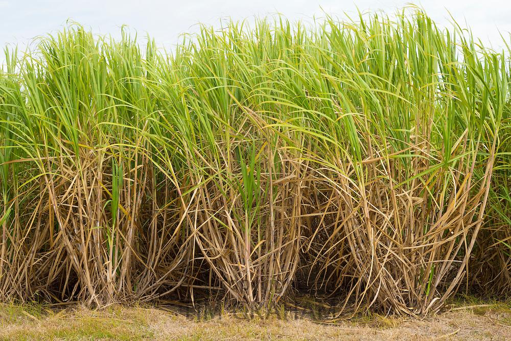 Sugarcane plants, raw sugar production on plantation in Louisiana, USA