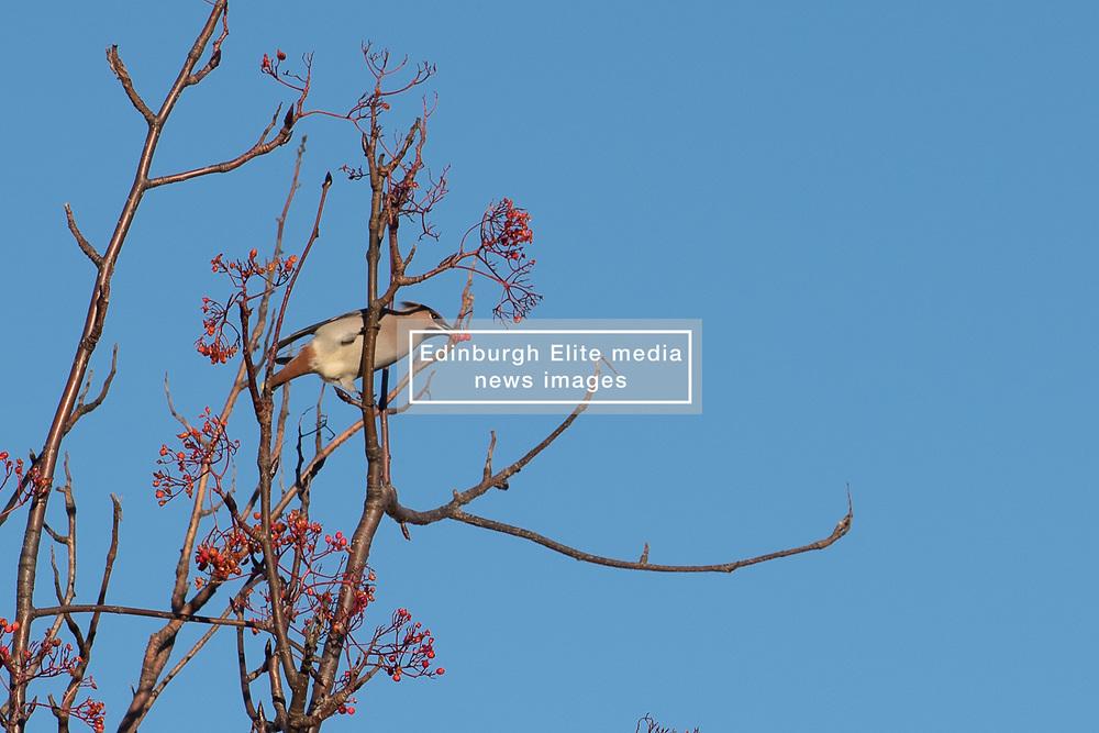 A flock of Waxwings descended on Abercorn Park, Portobello, feasting on the Rowan berries.<br /> <br /> <br /> © Jon Davey/ EEm