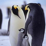 Emperor Penguin, (Aptenodytes forsteri) Adults and chicks. Riiser Larsen ice shelf. Antarctica.