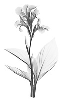X-ray image of a canna lily (Canna, black on white) by Jim Wehtje, specialist in x-ray art and design images.