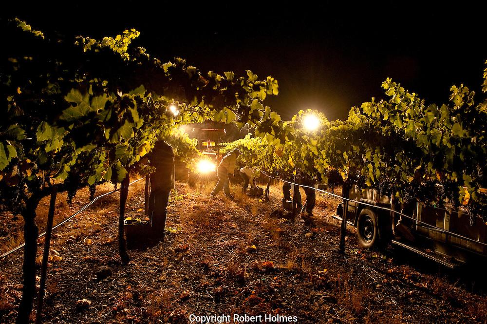 Night harvest of Merlot in the Three Palms Vineyard, Calistoga, Napa Valley