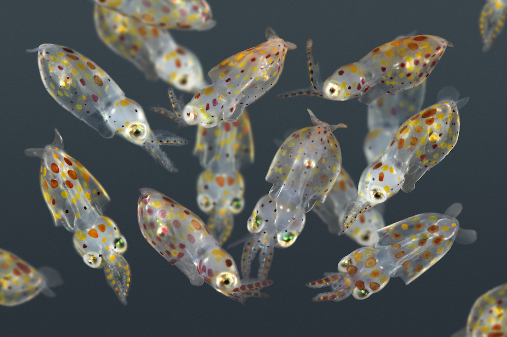 Young Common Squid - Loligo vulgaris