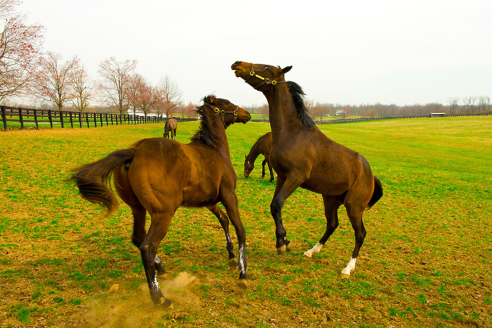 Thoroughbred horses and foals, Renvyle Farm, Harp Innis Road, Lexington, Kentucky USA