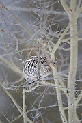 Ruffed grouse feeding in aspen tree in Montana during winter
