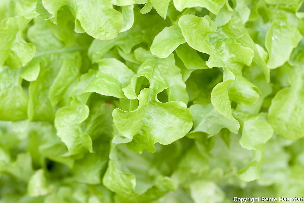 Lettuce in a kitchen garden. Plukksalat.