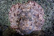 Octopus maorum (Maori octopus)