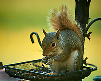 Squirrel at the birdfeeder. Image taken with a Nikon D5 camera and 600 mm f/4 VR lens