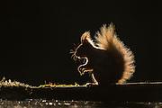 Red Squirrel (Sciurus vulgaris) backlit on edge of woodland pool, Cairngorms National Park, Scotland