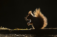 Red Squirrel (Sciurus vulgaris) backlit on edge of woodland pool, Cairngorms National Park, Scotland