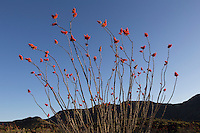 Ocotillo (Fouquieria splendens), Big Bend Ranch State Park, Texas