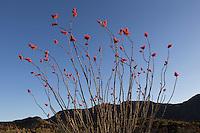 Ocotillo (Fouquieria splendens), Big Bend Ranch State Park, Texas