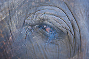 Indian Elephant close up,Kaziranga National Park, Assam, India