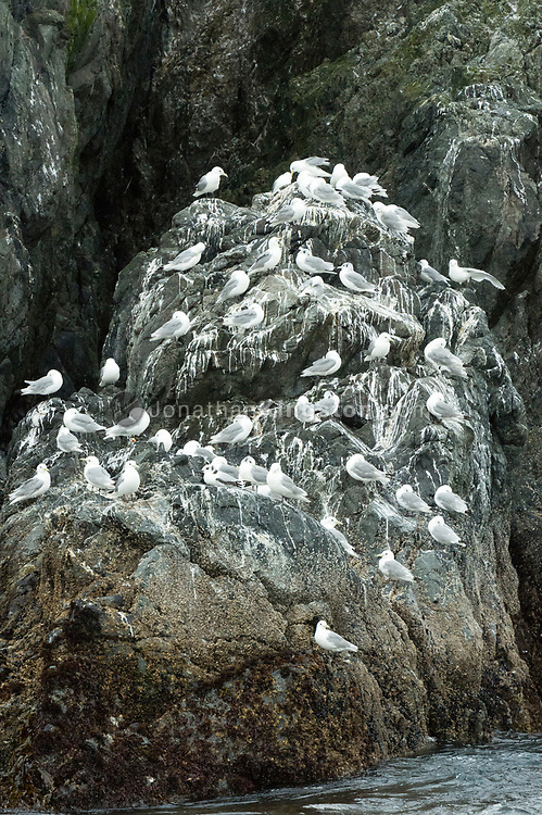Black-legged kittiwake (rissa tridactyla) on a rocky bluff in south east Alaska.