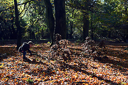 © Licensed to London News Pictures. 04/11/2013. Burnham, UK A young boy picks up a fallen branch. Autumn sunshine through the trees at Burnham Beeches, South Buckinghamshire on MONDAY 4TH NOVEMBER. The beeches covering 220 hectares is primarily noted for its ancient beech and oak pollards. Photo credit : Stephen Simpson/LNP