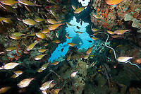 Diver and Dusky Sweepers.Shot in West Papua Province, Indonesia