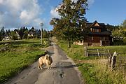 A single ram wanders across a narrow lane, on 16th September 2019, in Koscielisko, Zakopane, Malopolska, Poland.