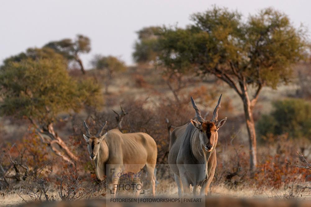 Elenantilope (Taurotragus oryx) im Schutzgebiet Tuli Block, Botswana<br /> <br /> Common eland (Taurotragus oryx) in the private game reserve Tuli Block, Botswana
