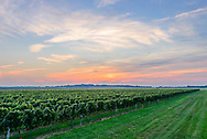 Vineyard, Cutchogue, Oregon Road, Long Island, NY