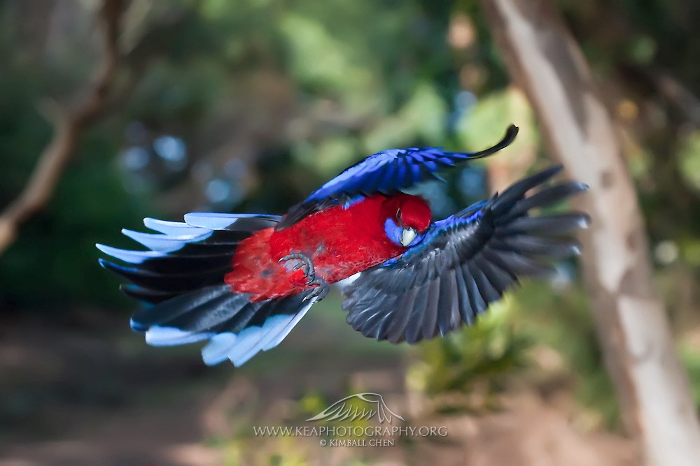 Flight has always been a fascination of man, and our modern planes have taken some good hints from our feathered friends.  Here, the crimson rosella effortlessly flies through the forest.