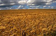 Ripe golden crop of barley on chalk uplands of the Marlborough Downs, Wiltshire, England