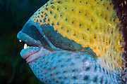 Close-up of the mouth and teeth of the Titan  Triggerfish (Balistoides viridescens), the largest triggerfish in the world, reaching up to 3ft. in length. It uses its strong jaws to eat prey and carry coral rubble to make nests. This species has the reputation of being aggressive at times.