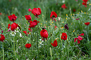 Red  Papaver polytrichum Poppies Photographed in the Jordan Rift Valley, Israel in March