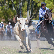 Stroud Campdraft, Stroud, New South Wales, Australia