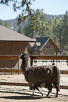 Llama walking in pen