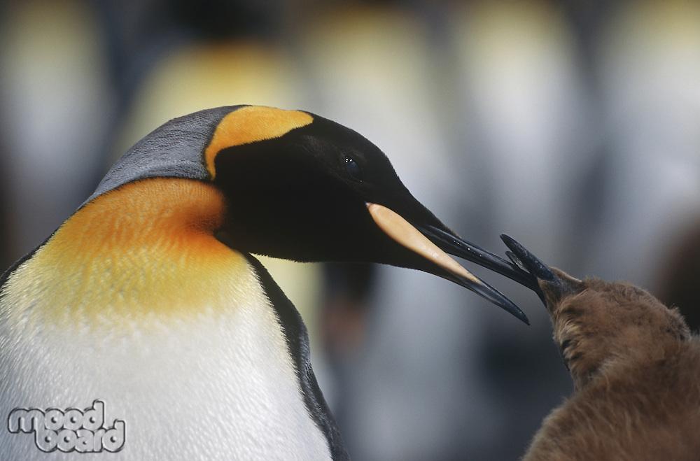 UK South Georgia Island King Penguin feeding chick close up