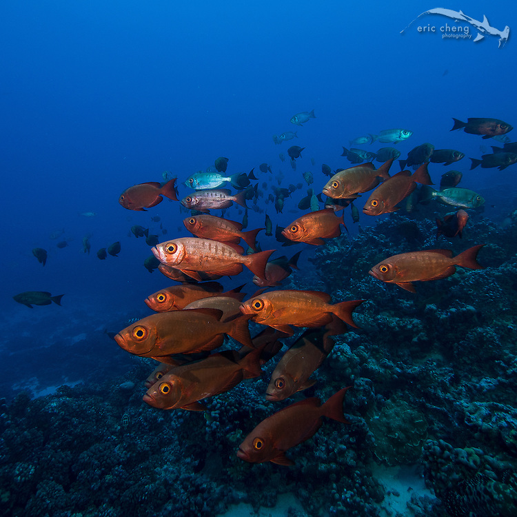 A school of crescent-tail bigeye (Priacanthus hamrur) in Fakarava's south pass (Tomakohua), French Polynesia.