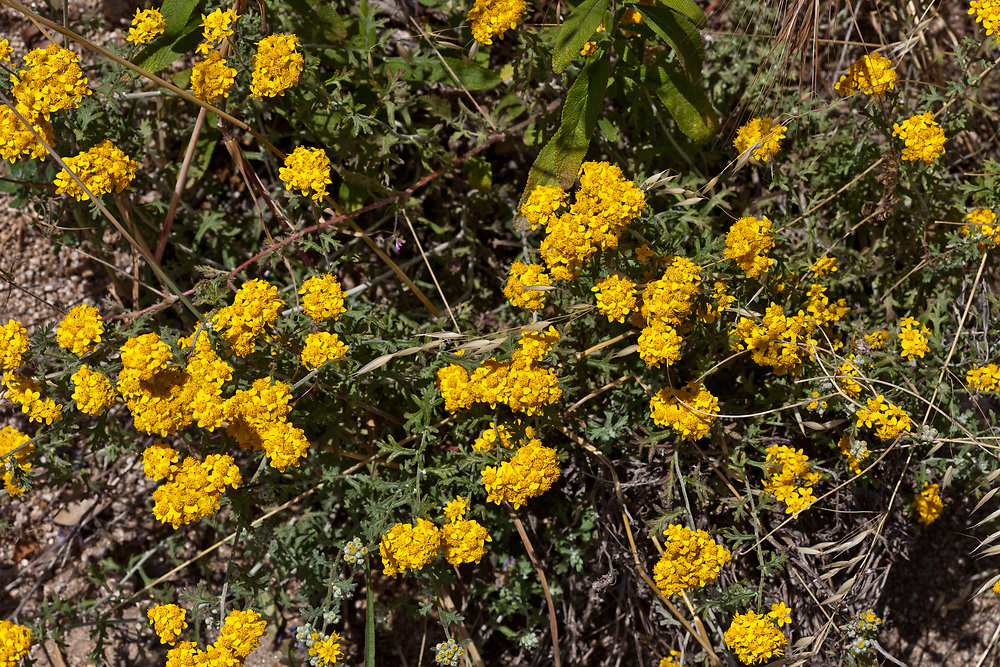 Eriophyllum confertiflorum (Golden yarrow) at Grizzly Flat, Angeles NF, Los Angeles Co, CA, USA, on 04-Jun-11
