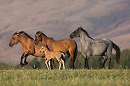 WILD HORSES OF MONTANA