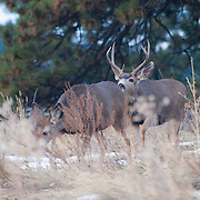 White-tailed deer at Lookout Mountain, Colorado, Friday, Nov. 6, 2009. (Photo/William Byrne Drumm)