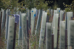Harefield, UK. 13 July, 2020. Saplings planted by HS2 in order to replace thousands of trees felled in the Colne Valley for the high-speed rail project.