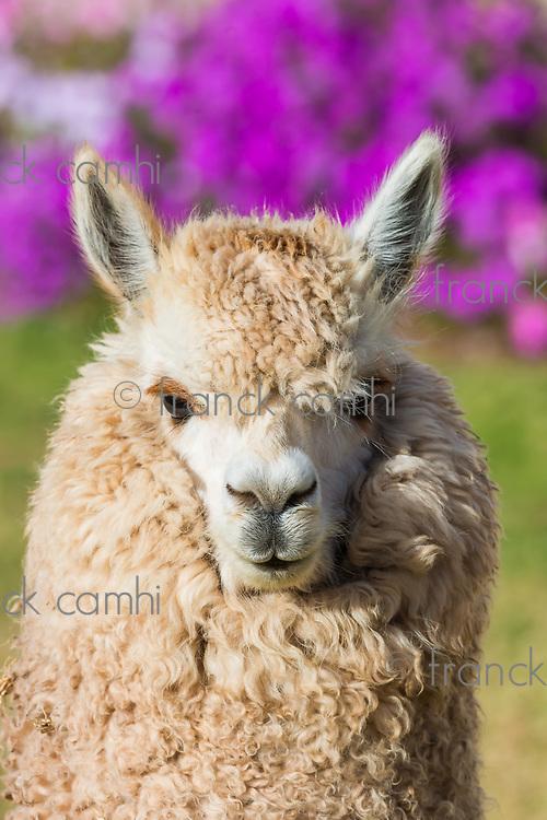 alpaca portrait in the peruvian Andes at Cuzco Peru