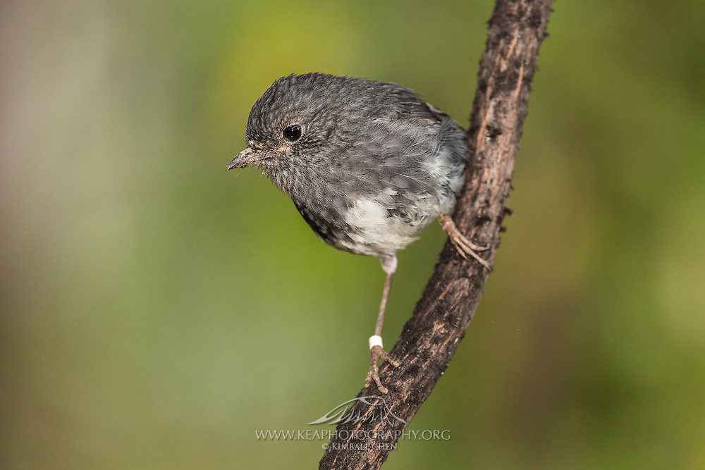 The North Island Robin is now considered a separate species from the South Island and Stewart Island Robins.