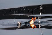 Puffin diving for food | Lundefugl dykker etter mat