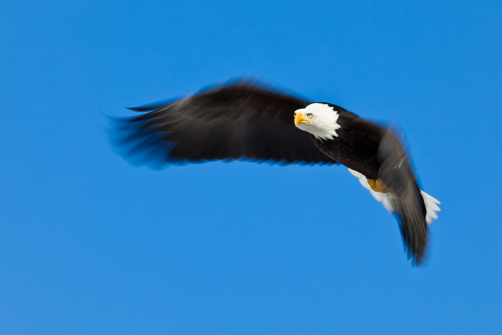 Motion blur of Bald Eagle (Haliaeetus leucocephalus) in flight in Eagle River near Anchorage in Southcentral Alaska. Winter. Morning.