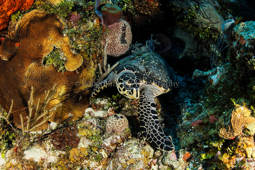 Green sea turtle search for food on Caribbean reef.