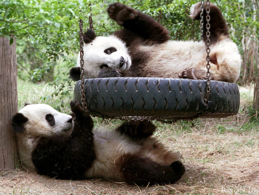 Male panda Yang Yang (top) falls after he pushed female panda Lun Lun off a swing at the Chengdu Panda Base of Giant Panda Breeding. The two 1-1/2 year-old pandas, conceived by artificial insemination, were loaned to Zoo Atlanta in 1999 for at least ten years.