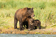 Brown bear (Ursus arctos) cub looks at salmon scraps hanging from its mother's mouth along Geographic Creek at Geographic Harbor in Katmai National Park in Southwestern Alaska. Summer. Afternoon.