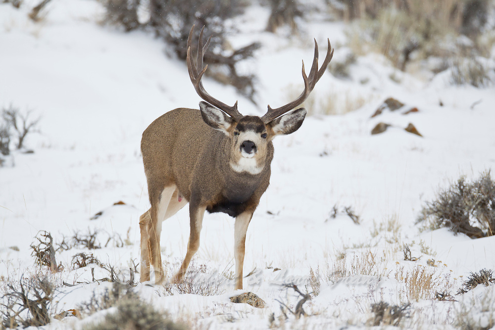Trophy mule deer buck (Odocoileus hemionus)on a snowy Wyoming day