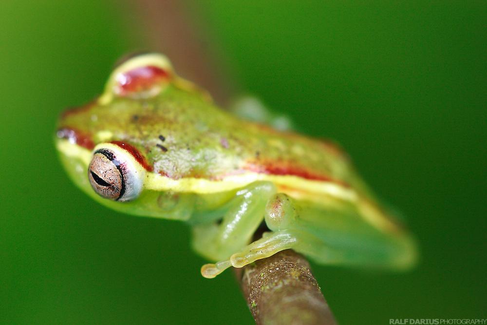Treefrog (Hyla rubracyla) in a Choco cloud forest, Bilsa - Ecuador