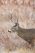 Mature whitetail buck in riparian habitat