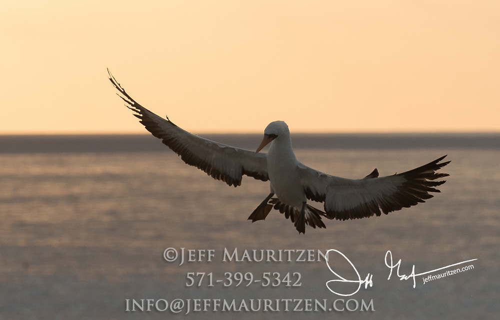 An adult Nazca booby flying over Espanola island, Galapagos islands, Ecuador.