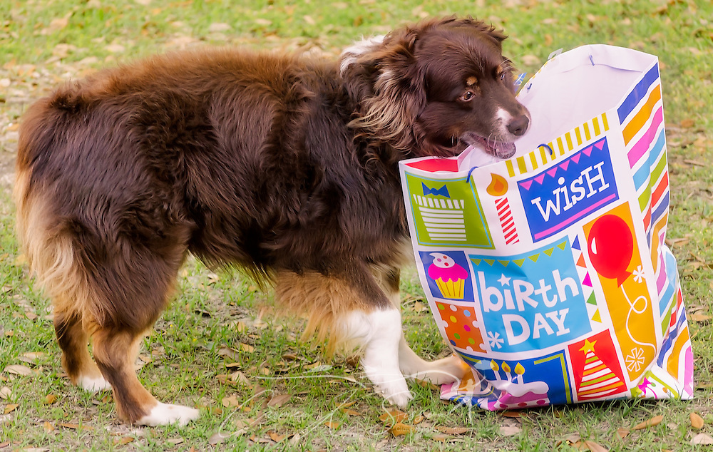 Cowboy, an eight-year-old red tri Australian Shepherd, opens a present at his birthday party, April 4, 2016, in Coden, Alabama. (Photo by Carmen K. Sisson/Cloudybright)
